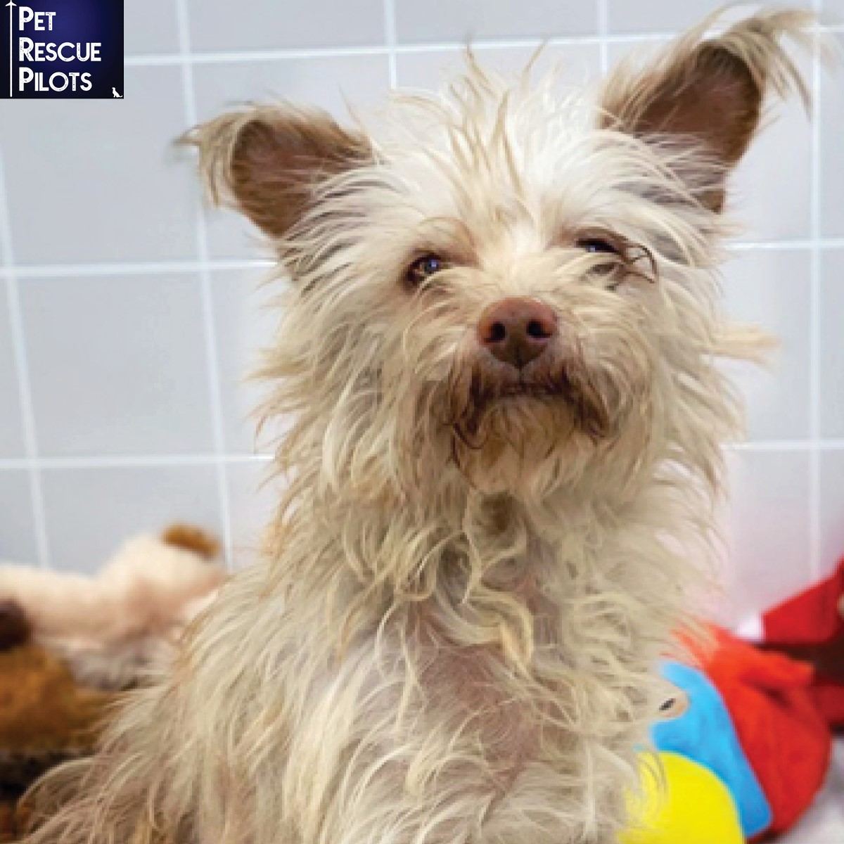 Molly, a 1 year old female Chinese Crested Chi, is very sweet, gentle, and mellow. She loves all people and dogs.